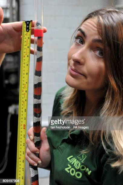 Reptile keeper Sarah Dempsey measures a Pueblan Milk Snake as part the annual weighin at ZSL London Zoo
