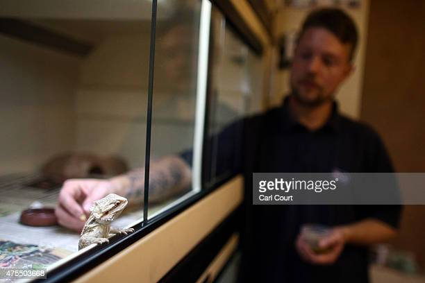Reptile Rescue Coordinator Tom Bunsell feeds a Bearded Dragon at the Royal Society for the Prevention of Cruelty to Animals reptile rescue centre on...