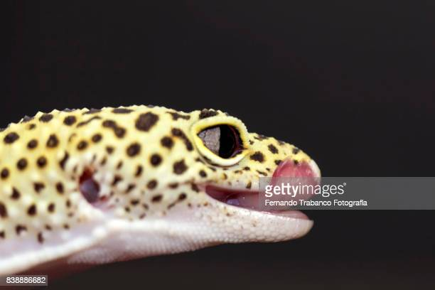 Reptile sticking out tongue