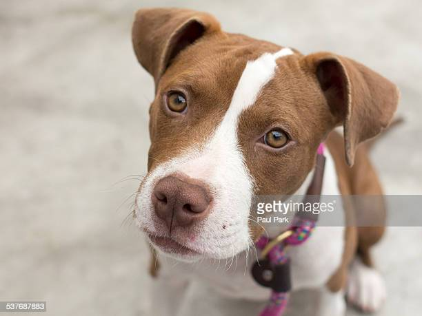 Rescue puppy pit bull mix