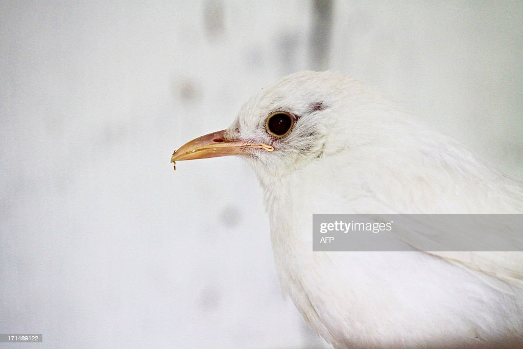 A rescued albino blackbird is pictured at the animal rescue station in Bartosovice, Moravia. There are maximum several dozens of albino blackbirds in Europe. In nature, most of them do not survive because others attack them. This first in Czech Republic albino blackbird is one month old and was found in a park.