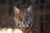 A rescued bobcat waits to be fed at The Wild Animal Sanctuary on October 20 2011 in Keenesburg Colorado The nonprofit sanctuary is a 720 acre refuge...