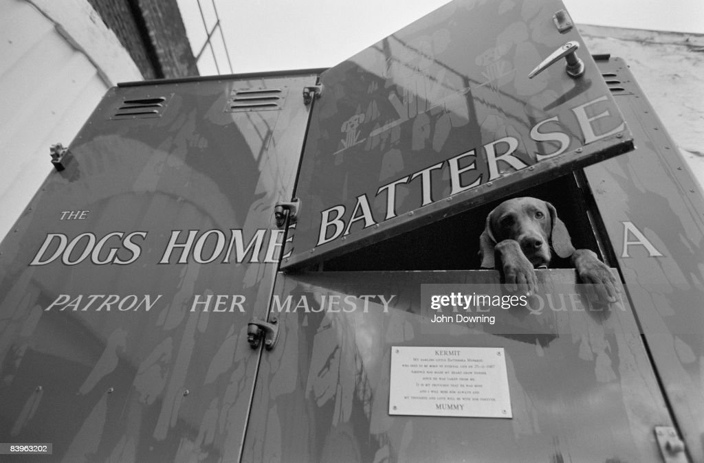 A rescued dog in the back of a van operated by Battersea Dogs' Home, London, December 1988.