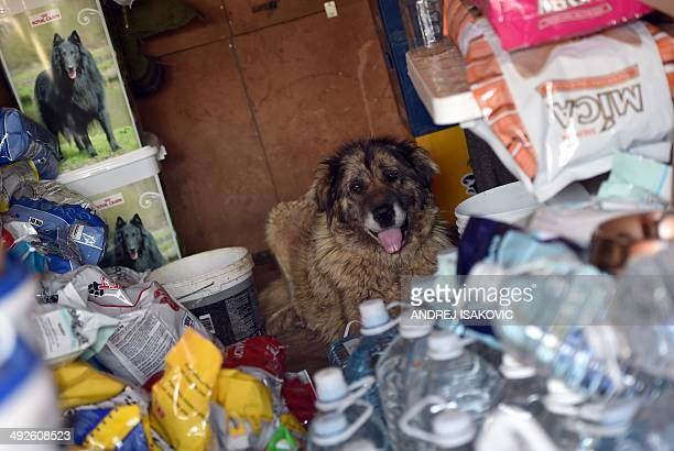 A rescued dog takes shelter from the heat among bags of food in the animals shelter in the village of Drazevac near flooded Serbian town of Obrenovac...