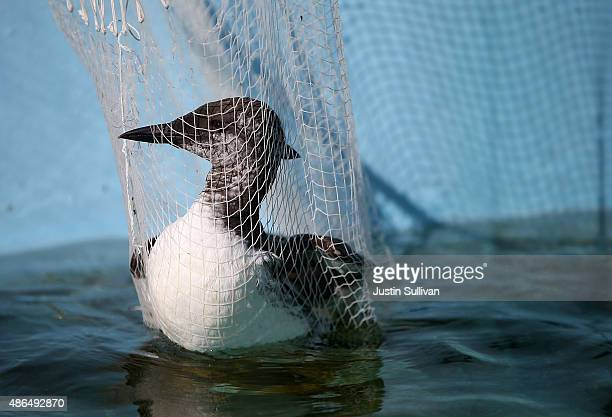 A rescued murre sits in a net before it is given medication at the International Bird Rescue on September 4 2015 in Fairfield California The...