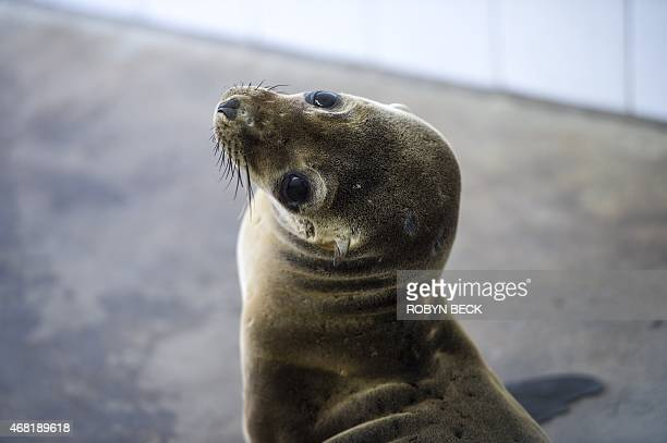 A rescued sea lion rests in a holding pen at the Pacific Marine Mammal Center in Laguna Beach California on March 30 2015 Record numbers of starving...