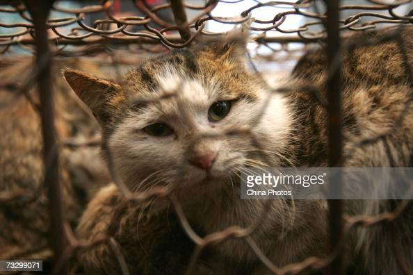 A rescued stray cat looks out of a cage at a storehouse February 11 2007 in Tianjin Municipality China Some 400 rescued stray cats will be moved to...