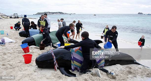 Rescuers assist beached long fin pilot whales at Hamelin Bay on March 23 2009 58 Volunteers joined rescue workers struggling to save the lives of 17...