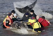 Rescuers manoeuvre a northern bottlenosed whale as it spends it's second day in the River Thames on January 21 2006 in London The 1618ft northern...