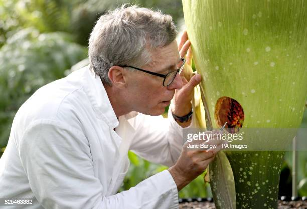 Research associate Dr Axel Dalberg Poulsen examines an Amorphophallus titanum or titan arum one of the world's biggest and smelliest flowers which...