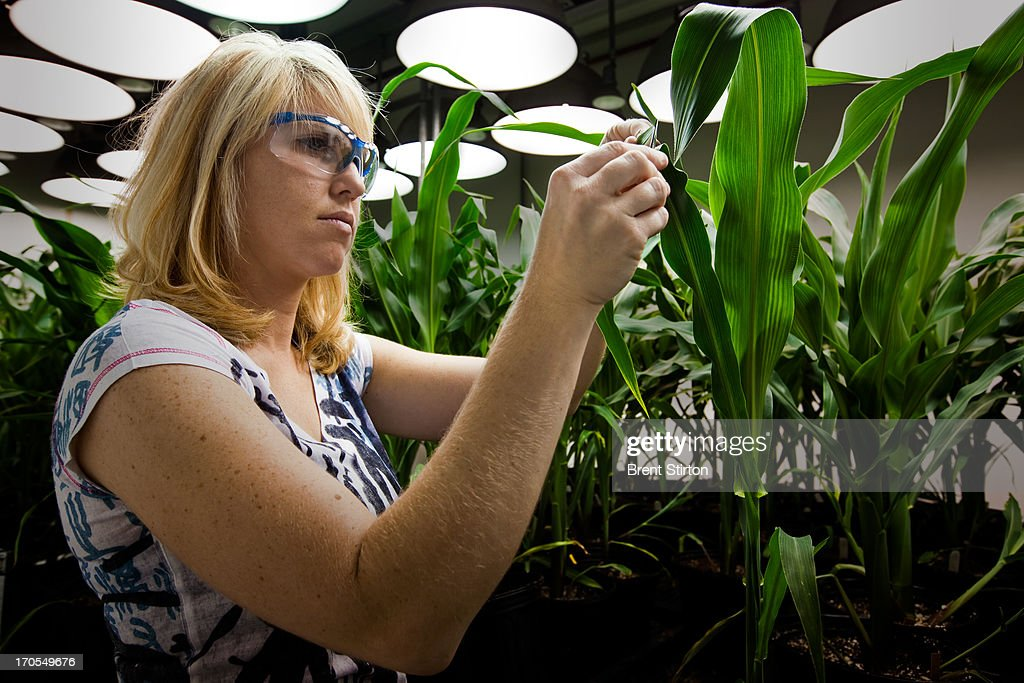 Research Biologist Heidi Windler takes tissue samples from genetically modified corn plants inside a climate chamber housed in Monsanto agribusiness headquarters in St Louis, Missouri, 21 May 2009. Windler is attempting to breed a Corn Root Worm resistant strain of corn which will one day form the basis of a root worm resistant corn crop of the future. Monsanto is at the forefront of biotechnology in the agribusiness sector. These climate chambers are designed and built inhouse and they allow the technicans to monitor plant growth daily. These plants are monitored for the perfect DNA of an elite corn seed and then those plants that make the grade are forwarded to the next stage of the selection process. Monsanto is a controversial global corporate with a history of strong litigation against those it assumes are interfering with its stringent patent laws. This practise as well as its advanced genetically modified technology approach in the agricultural sector have led many to be suspicious of Monsanto and the ultimate good of GM foods. Monsanto argues back that sufficent food production for the future is simply not possible without adequate GM technology in agriculture.