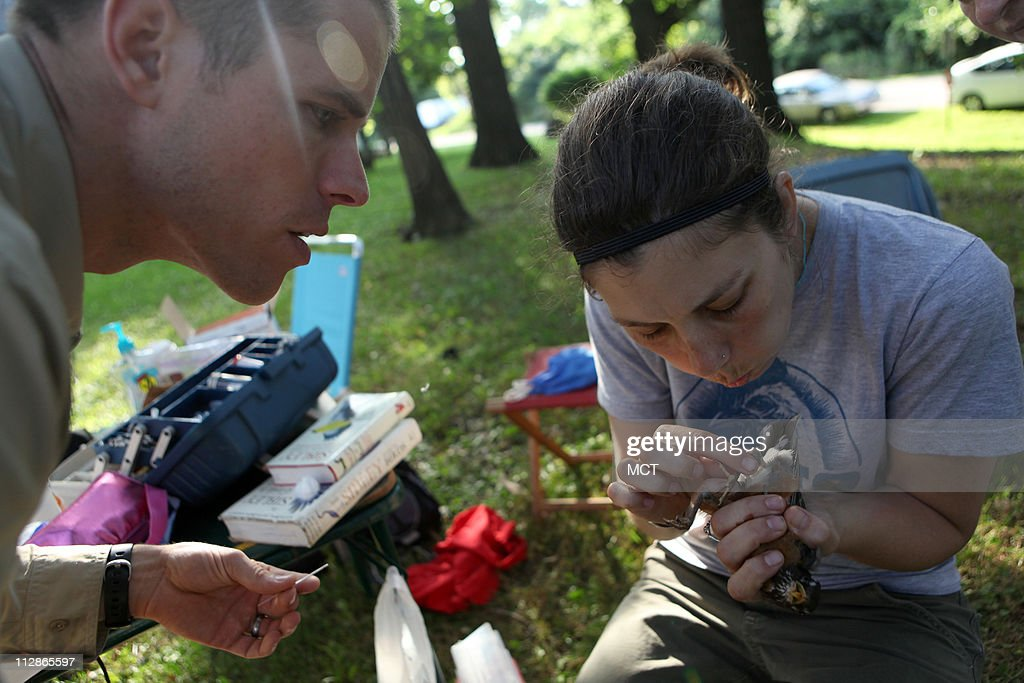 Researcher Gabe Hamer, left, and veterinary science student Jessica Girard try to determine the gender of a robin in a wooded area of Oak Lawn, Illinois, July 28, 2009. They are part of a research team trapping mosquitoes, catching birds and testing their blood trying to find out why West Nile virus and other mosquito-borne diseases are prevalent in the suburbs south of Chicago.