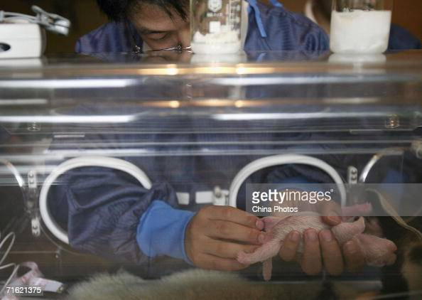 A researcher inspects a onedayold panda cub in an incubator at the China Wolong Giant Panda Protection and Research Centre on August 8 2006 in Wolong...