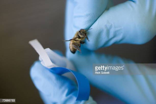 A researcher straps a bombsniffing honey bee into a customdesigned harness before a training session sniffing out explosives November 30 2006 at Los...