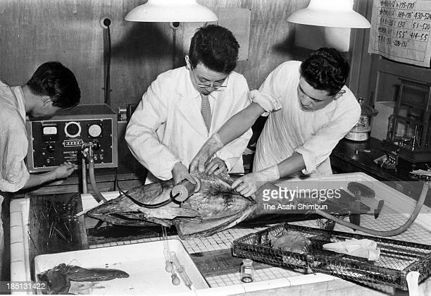 Researchers check the radiation levels of a tuna on July 19 1954 in Tokyo Japan All 23 crew members of the fishboat Dai 5 Fukuryu Maru were exposed...