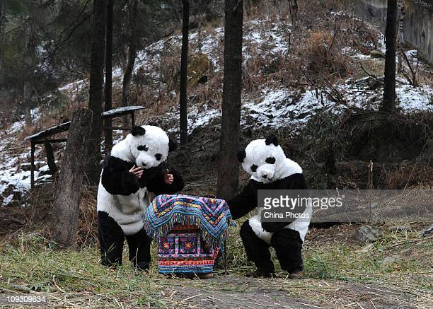 Researchers dressed as pandas place giant panda cub Tao Tao into a basket before they take it for a walk in a training base at the Hetaoping China...
