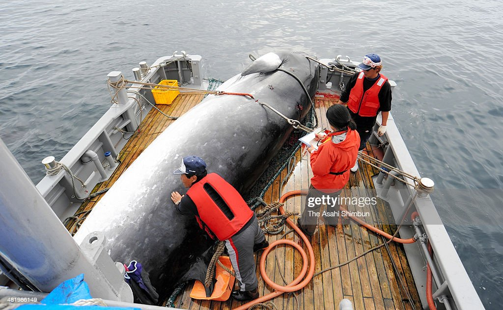 Researchers load a mink whale on the deck during a research whaling off Kushiro on September 13 2013 at sea The International Court of Justice ruled...