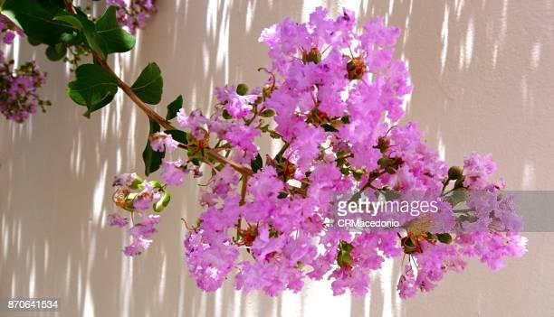 Reseda in bloom