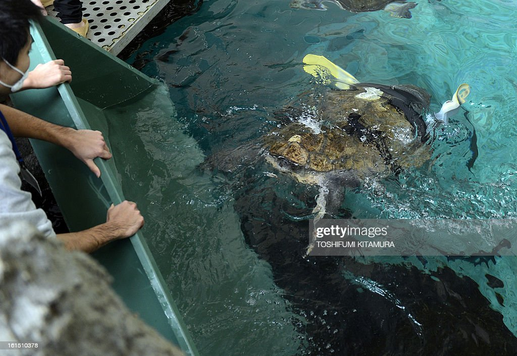 Reserchers release a loggerhead turtle with artificial legs into a tank at the Suma Aqualife Park in Kobe, February 12, 2013. Yu, an approximately 25-year-old female loggerhead turtle lost her front legs to a shark attack. AFP PHOTO / TOSHIFUMI KITAMURA