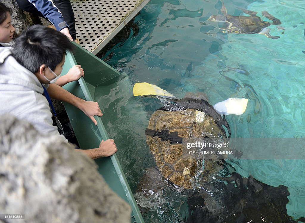 Reserchers release a loggerhead turtle with artificial legs into a tank at the Suma Aqualife Park in Kobe, February 12, 2013. Yu, an approximately 25-year-old female loggerhead turtle lost her front legs to a shark attack.