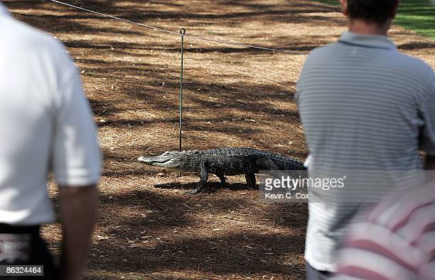 A resident alligator crosses the 15th fairway into the gallery during the first round of the 2006 Verizon Heritage Classic Thursday April 13 at...