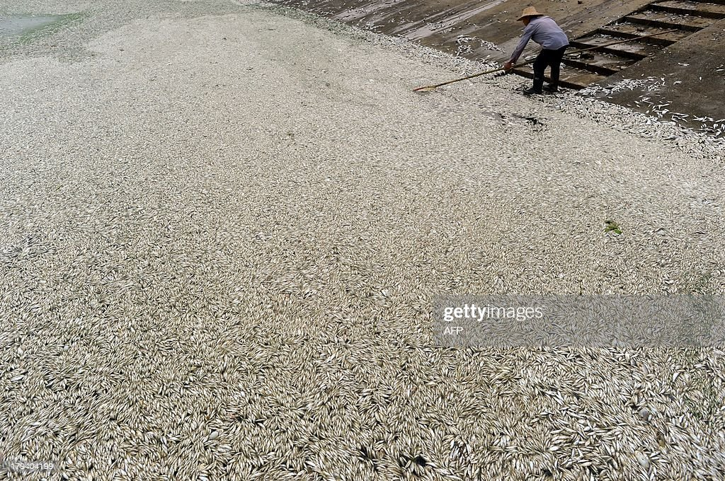 A resident clears dead fish from the Fuhe river in Wuhan, in central China's Hubei province on September 3, 2013 after large amounts of dead fish began to be surface early the day before. According to local media, about 30 thousand kilograms of dead fish had been cleared by late September 2. The official Wuhan municipal government's emergency office Weibo account announced on September 3 that the fish had died of severely high levels of ammonia. CHINA OUT AFP PHOTO