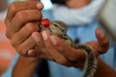 A resident feeds a cherry to an orphaned juvenile squirrel in New Delhi on June 23 2014 The squirrel was rescued from a tree which fell during a...