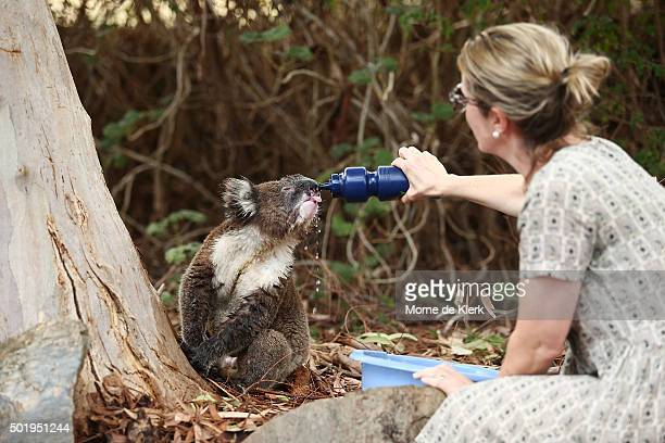 A resident gives a drink to a wild heatstressed koala in her backyard on December 19 2015 in Adelaide Australia Adelaide is experiencing an extreme...