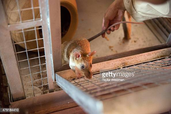 A resident veterinarian performs daily checks of the mine detection rats on July 2 2015 in Siem Reap Cambodia The Cambodian Mine Action Center...