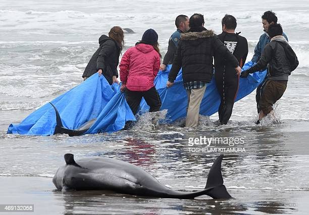 Residents attempt to save melonheaded whales beached on the shore of Hokota city northeast of Tokyo on April 10 2015 More than 130 melonheaded whales...