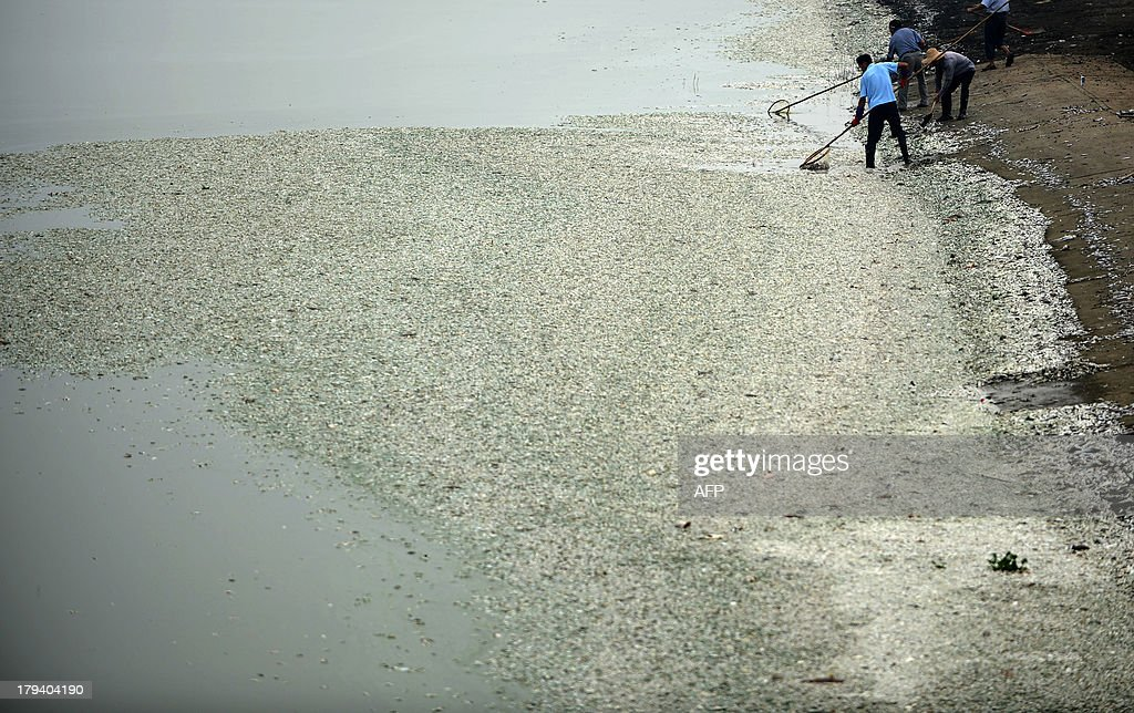 Residents clear dead fish from the Fuhe river in Wuhan, in central China's Hubei province on September 3, 2013 after large amounts of dead fish began to be surface early the day before. According to local media, about 30 thousand kilograms of dead fish had been cleared by late September 2. The official Wuhan municipal government's emergency office Weibo account announced on September 3 that the fish had died of severely high levels of ammonia. CHINA OUT AFP PHOTO