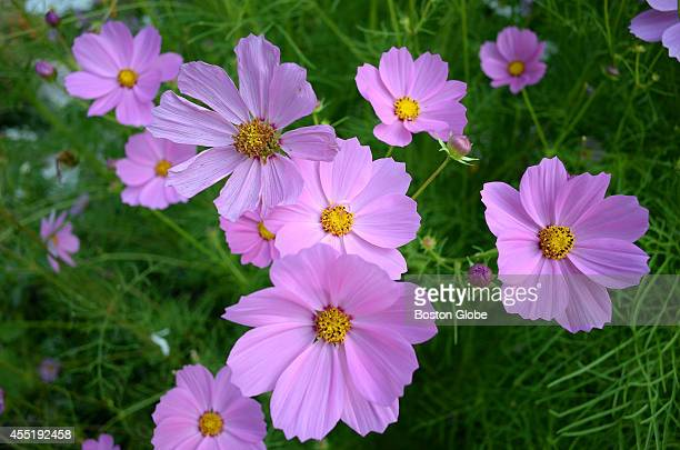 Residents grow a multitude of flowers at the garden at Linden Ponds Retirement Community Cosmos flowers