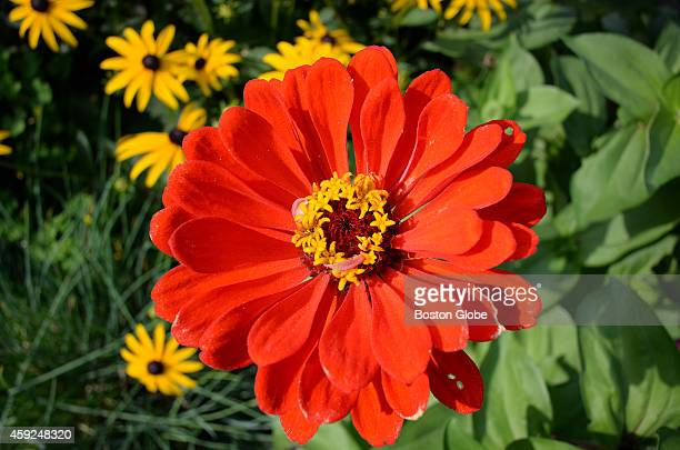 Residents grow a multitude of flowers at the garden at Linden Ponds Retirement Community including zinnias like the one pictured
