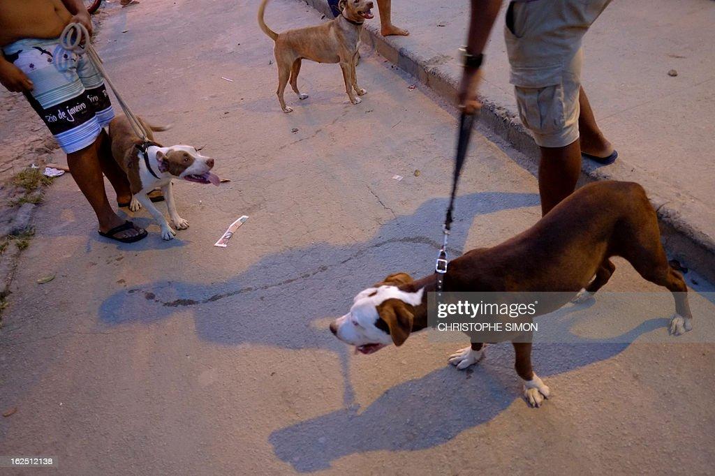 Residents of Rio de Janeiro's Cidade de Deus shantytown gather with their pit bull dogs, on February 23, 2013. AFP PHOTO/Christophe Simon