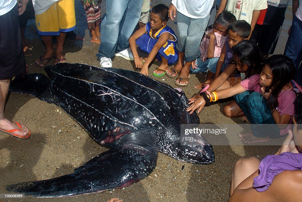 Residents watch a rare leather back turtle being prepared for release at sea in the village of Bolong, east of Zamboanga City, in the southern island of Mindanao on May 19, 2010, after it was trapped on May 18 in a fishing net. The leatherback is the largest, deepest diving, and most migratory and wide ranging of all sea turtles. An adult leatherback can reach 4 to 8 feet in length and 500 to 2000 pounds in weight, is distributed worldwide in tropical and temperate waters of the Atlantic, Pacific, and Indian Oceans, according to the website of the US Fish and Wildlife Service, North Florida Field office.