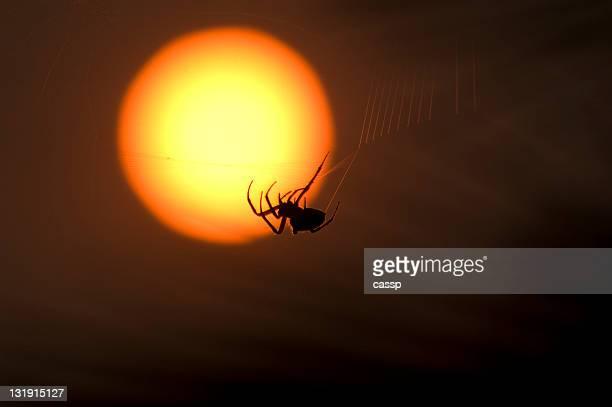 Resilent Spider Sunset CA Fires