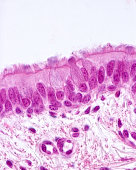 Ciliated pseudostratified columnar epithelium of a bronchus (respiratory epithelium). Cilia, basal bodies and goblet cells are clearly show. Light microscope micrograph. H&E stain.