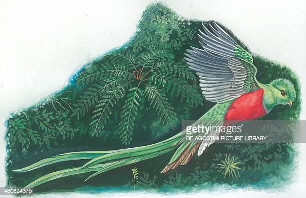 Resplendent Quetzal illustration
