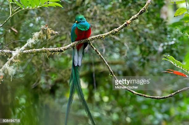 Resplendent Quetzal -Pharomacrus mocinno-, male, San Gerardo de Dota, San Jose Province, Costa Rica, Central America