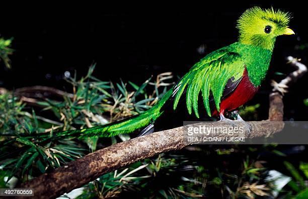 Resplendent quetzal Trogonidae