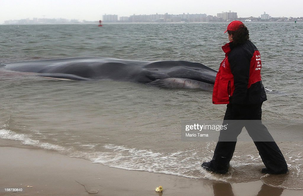 A responder walks past a beached whale, still alive, in the Breezy Point neighborhood on December 26, 2012 in the Queens borough of New York City. Breezy Point was especially hard hit by Superstorm Sandy. Rescuers believe the whale will not be able to be saved.