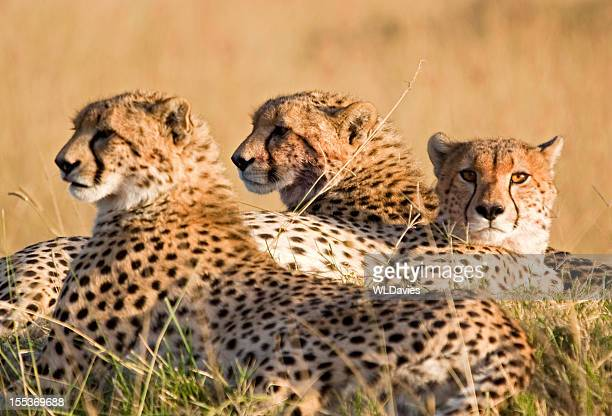 Resting cheetah family
