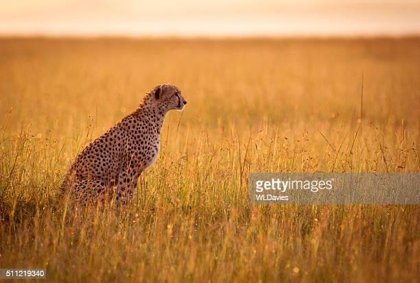 Reposo de guepardo