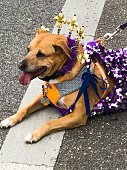 Dog resting after walking in parade