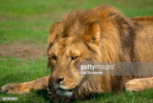 Resting Lion King : Stock Photo