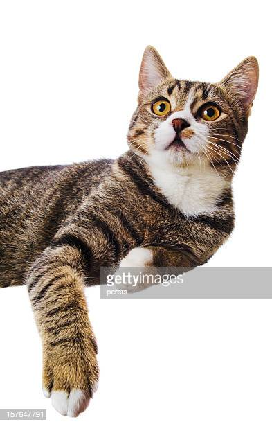 resting tabby cat