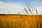 Autumn on a restored tall grass prairie; Indian grass (Sorghastrum nutans) in the foreground