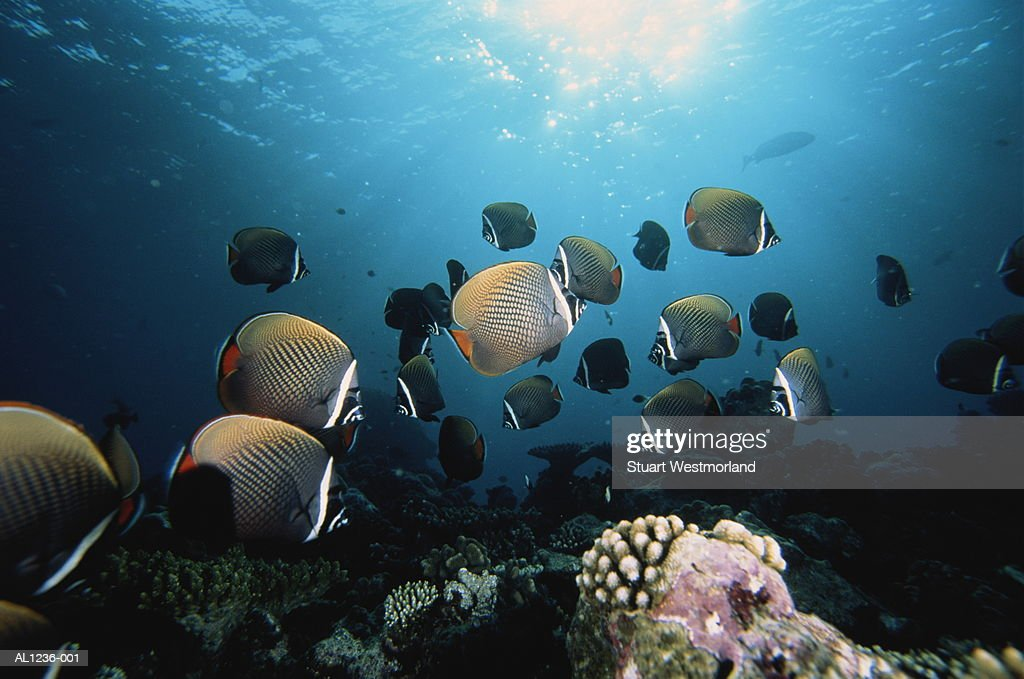 Reticulated butterfly fish, Maldives : Stock Photo