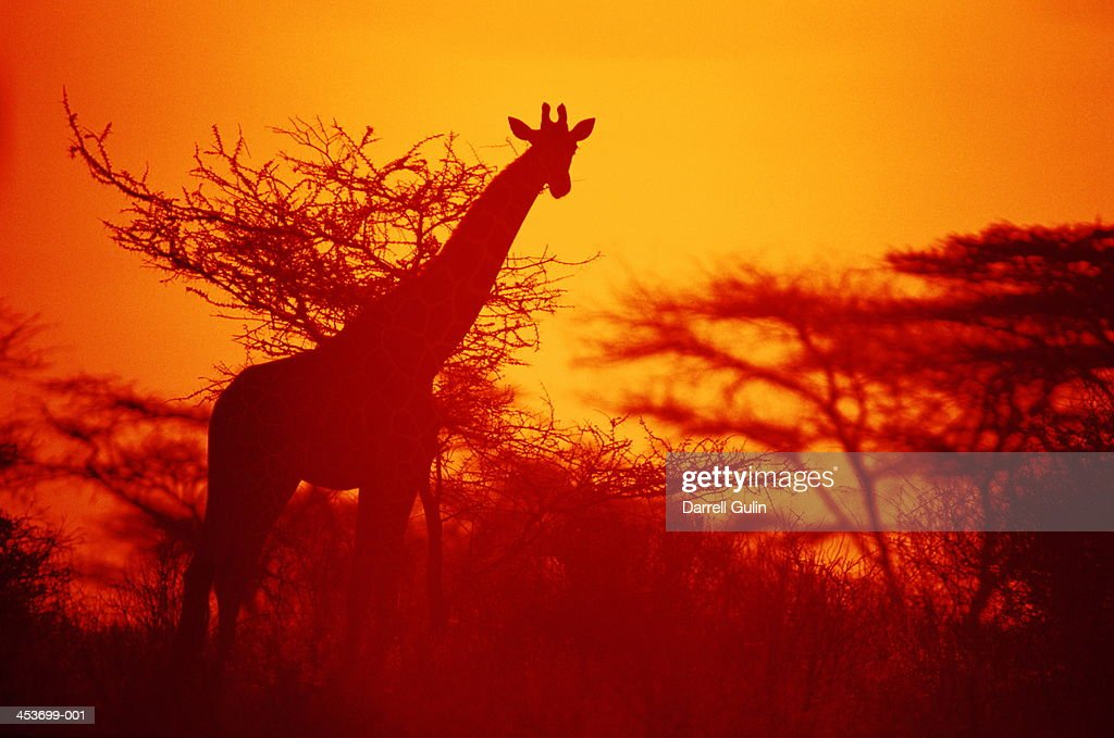 Reticulated giraffe in sihouette at sunset, Kenya : Stock Photo