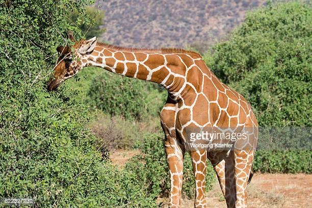 A reticulated giraffe is browsing on a tree in Samburu National Reserve in Kenya